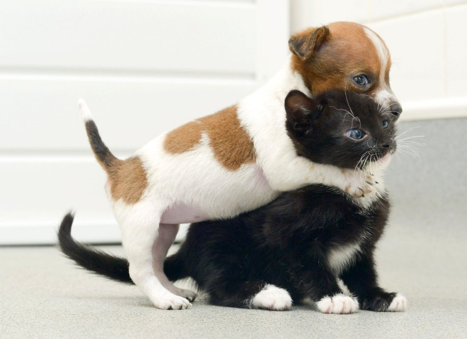 puppy kitten think they are sisters buttons the jack russell