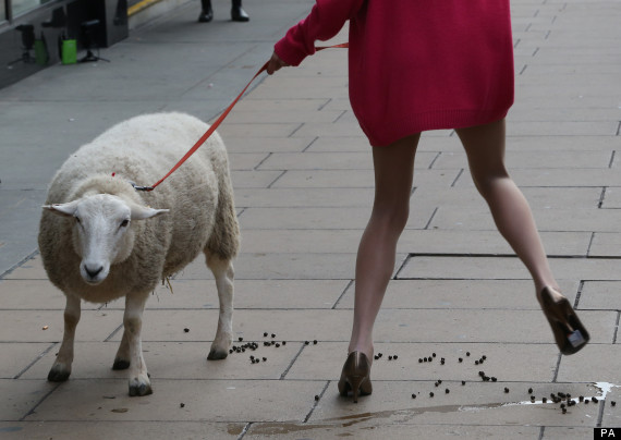 model and sheep