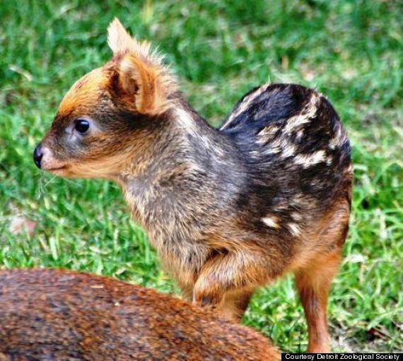 baby pudu hamil girl detroit zoo