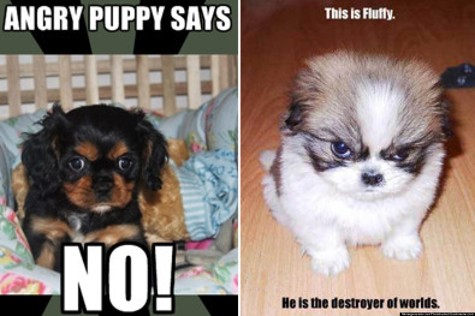 o ANGRY PUPPY MEME facebook photos cutest angry puppy meme contest huffpost,Angry Meme