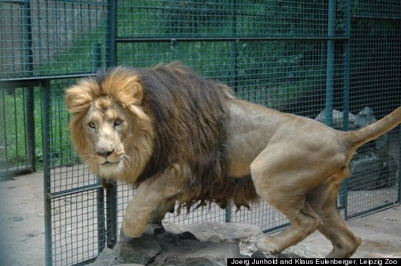 The Descendants Of Haile Selassie's Lions In Ethiopia Are Genetically ...