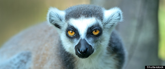 Lemurs On Brink Of Extinction