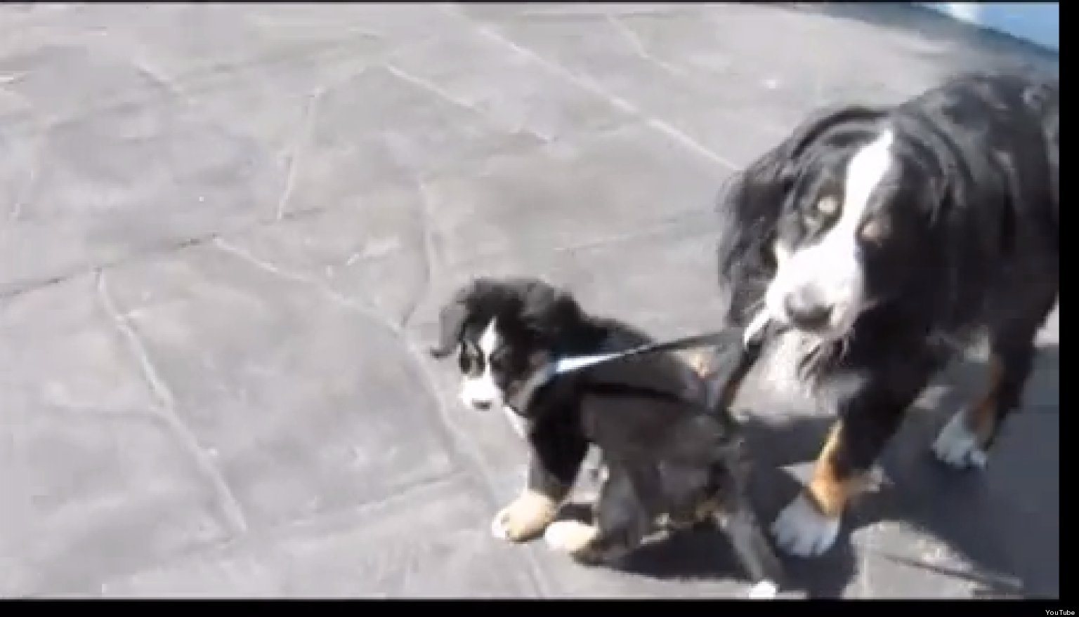 how to leash train a puppy video