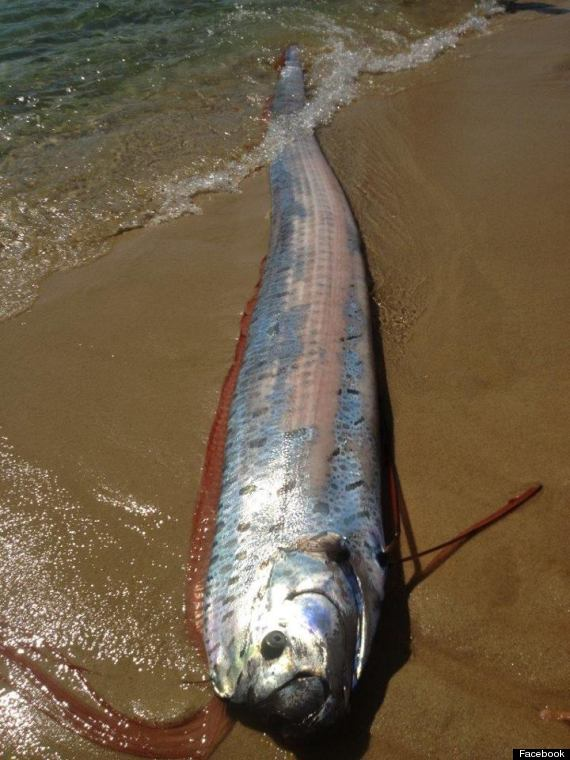 oarfish cabo san lucas