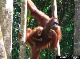 Imperiled Orangutans Need Key Forest Corridor