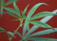 Medical Marijuana Advocates Want Drug Reclassified