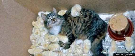 cats baby chicks friends
