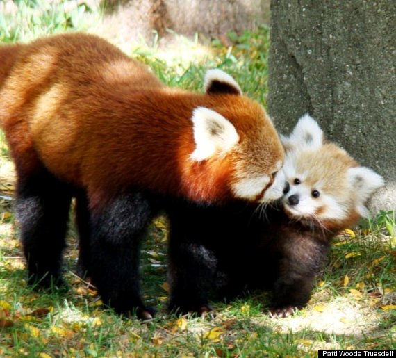 red panda cub sherman