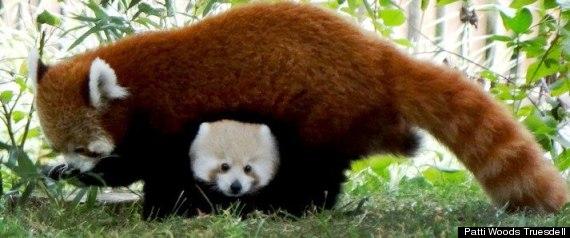 BABY RED PANDA SHERMAN DETROIT