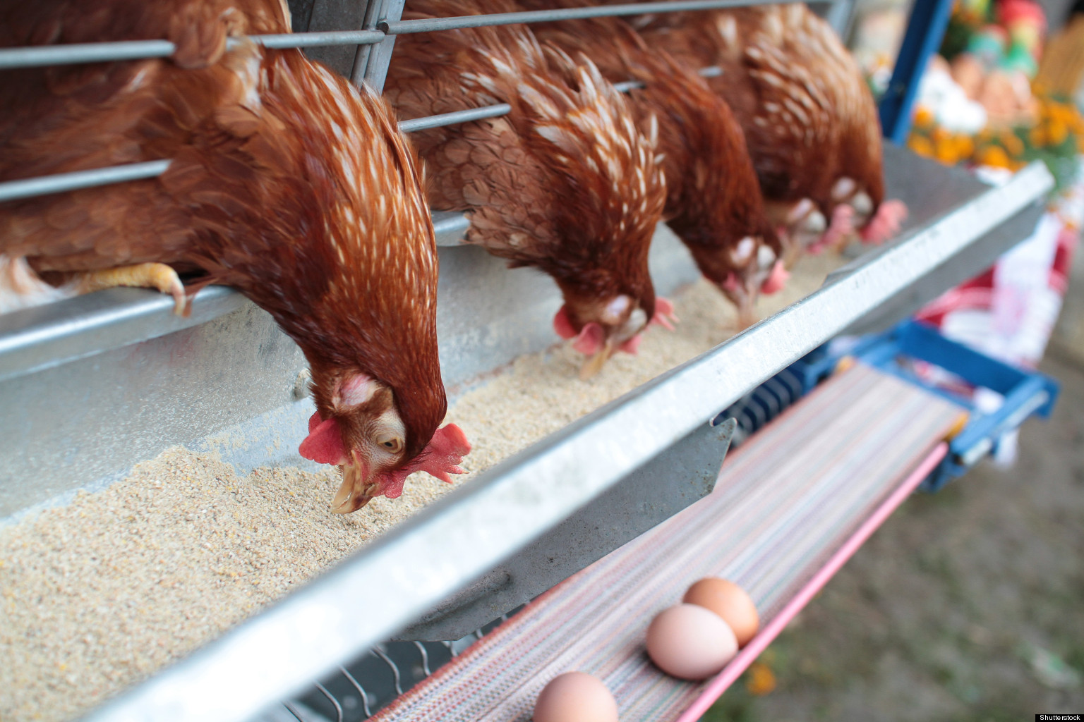 how to make a chicken farm