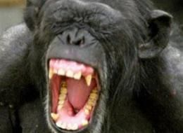 Screaming Chimp