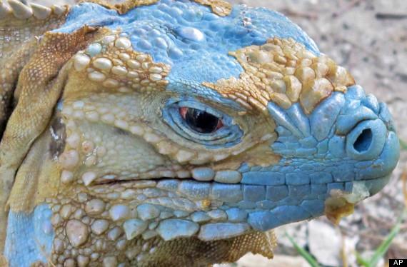 cayman_islands_blue_iguanas