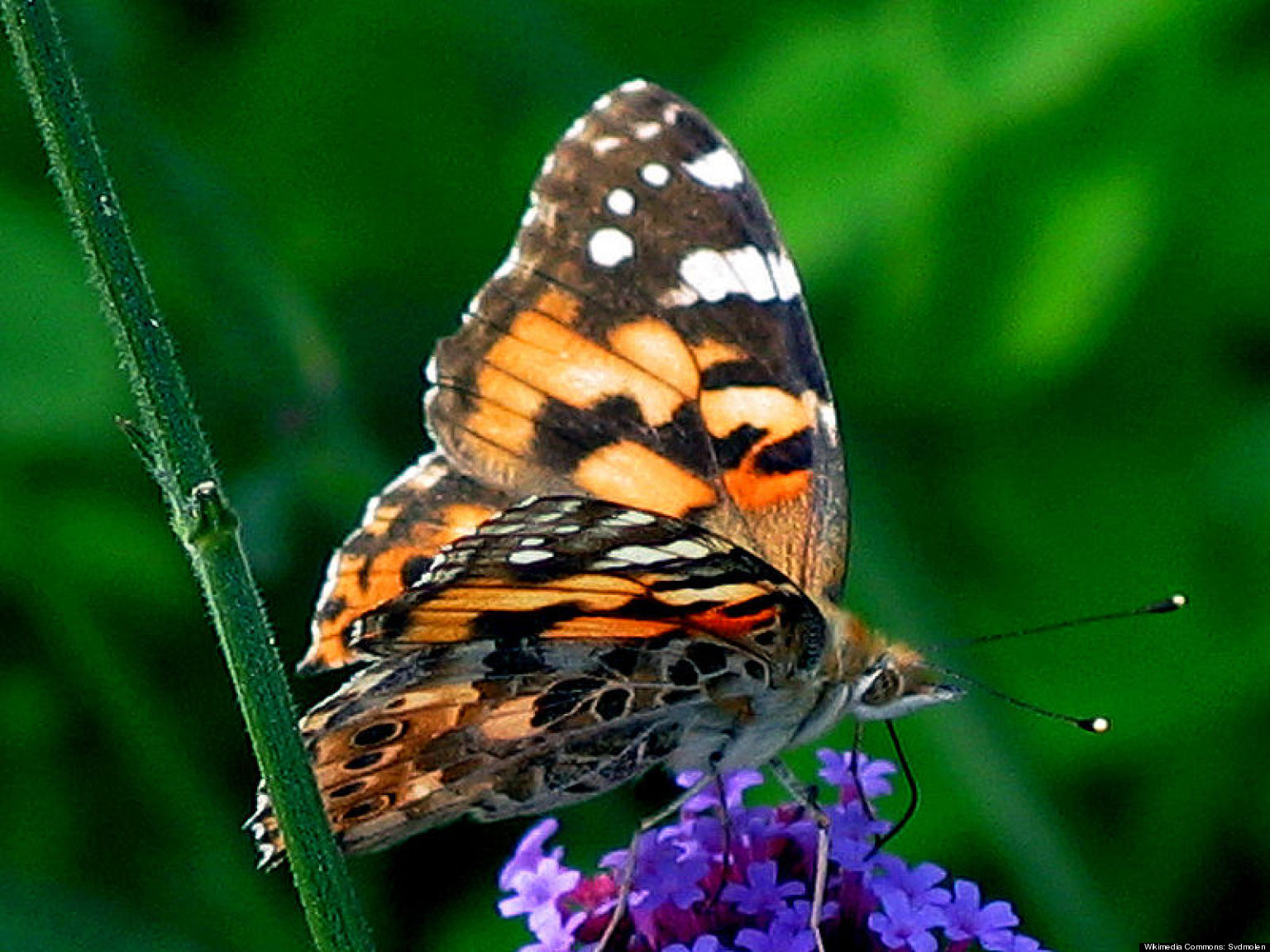 painted lady butterfly migration route stretches from