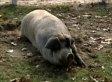 Pig Tracks Down Cat Presumed Dead In Farm Fire (VIDEO)