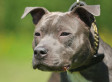 Pitbull Ban In Pasadena, Calif.? City Council To Consider The Issue (VIDEO)