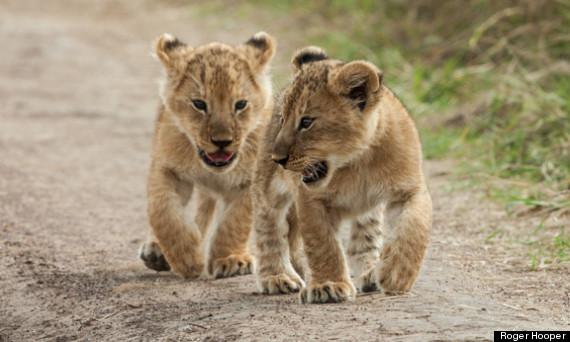 roger hooper lion cubs masai mara kenya