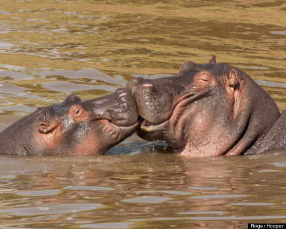 roger hooper hippos masai mara kenya