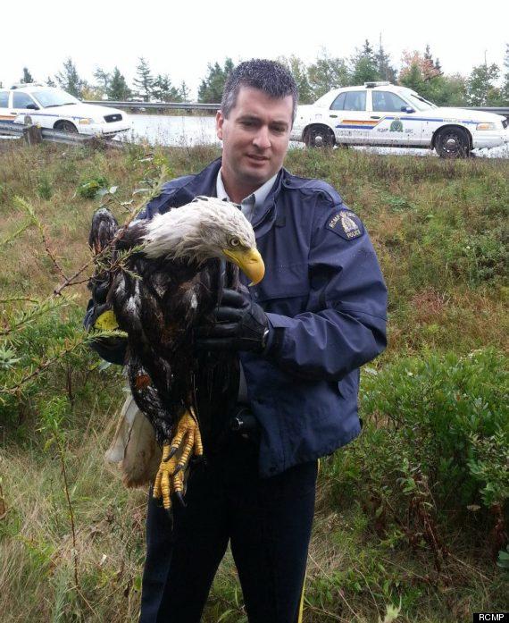 rcmp eagle nova scotia