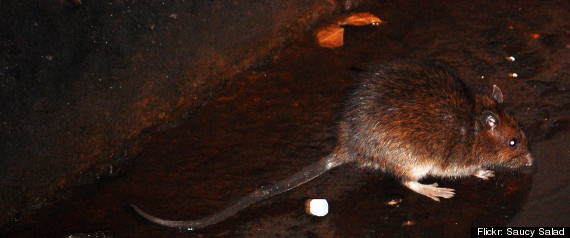 Hurricane Sandy Rats
