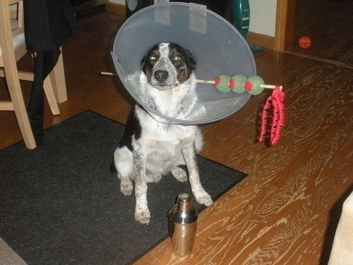 dog s cone of shame halloween costume makes the best of things