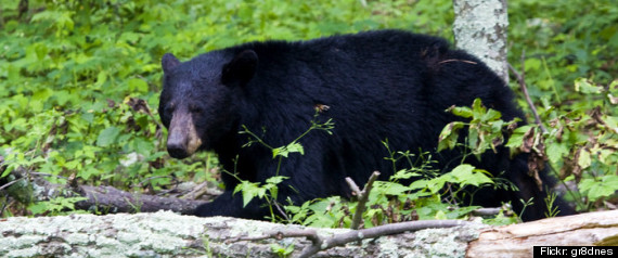 BLACK BEAR ARRESTS MARYLAND