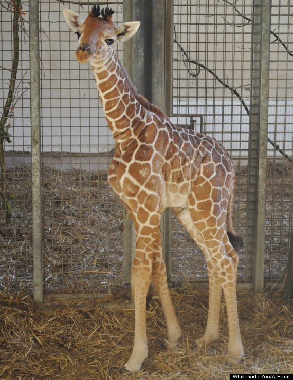 Newborn Baby Giraffe Pictures | www.pixshark.com - Images ...