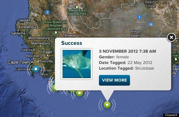 great white shark tracker