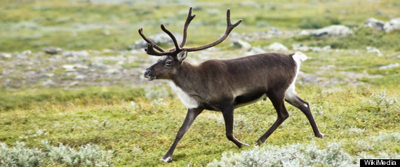 NORTHERN CARIBOU