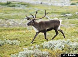 Alberta Backs Off Energy Leases On Caribou Range