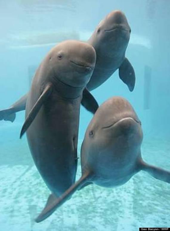 china fin less porpoises