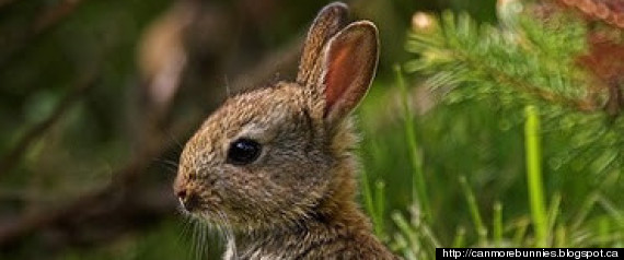 Canmore Rabbits Killed