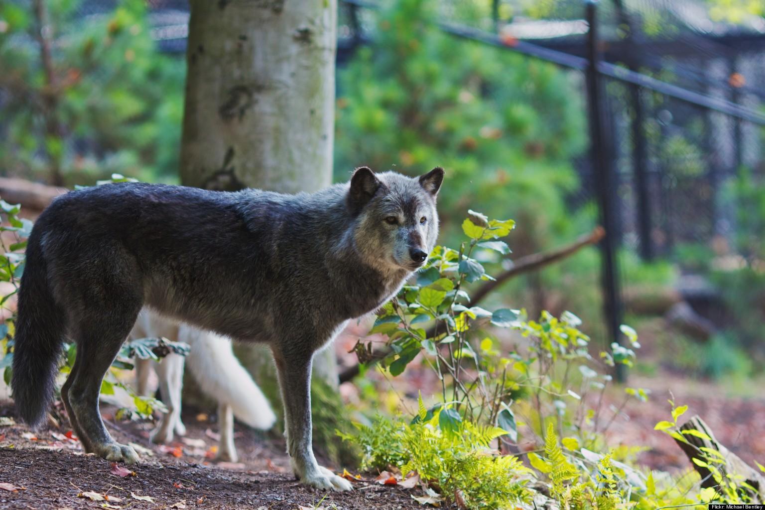 Baby Gray Wolf