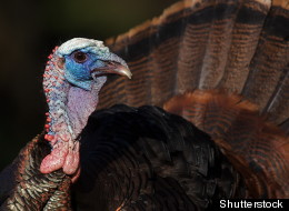 Interview With a Thanksgiving's Turkey and Other Creatures of Rituals