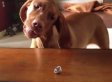 Dog vs. Ring: Cute/Ridiculous Animal Thing Of The Day (VIDEO)