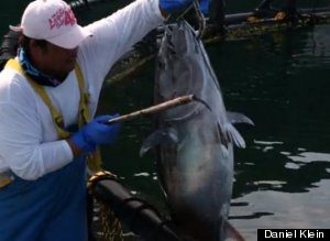 Sustainable Bluefin Tuna