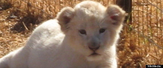 RUSSIAN KIDS FIND LION CUB