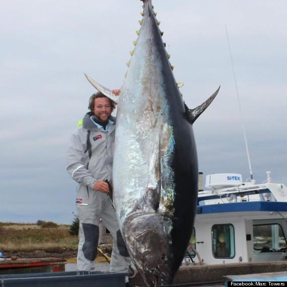 1000 Pound Bluefin Tuna Caught Near Nova Scotia To Yield