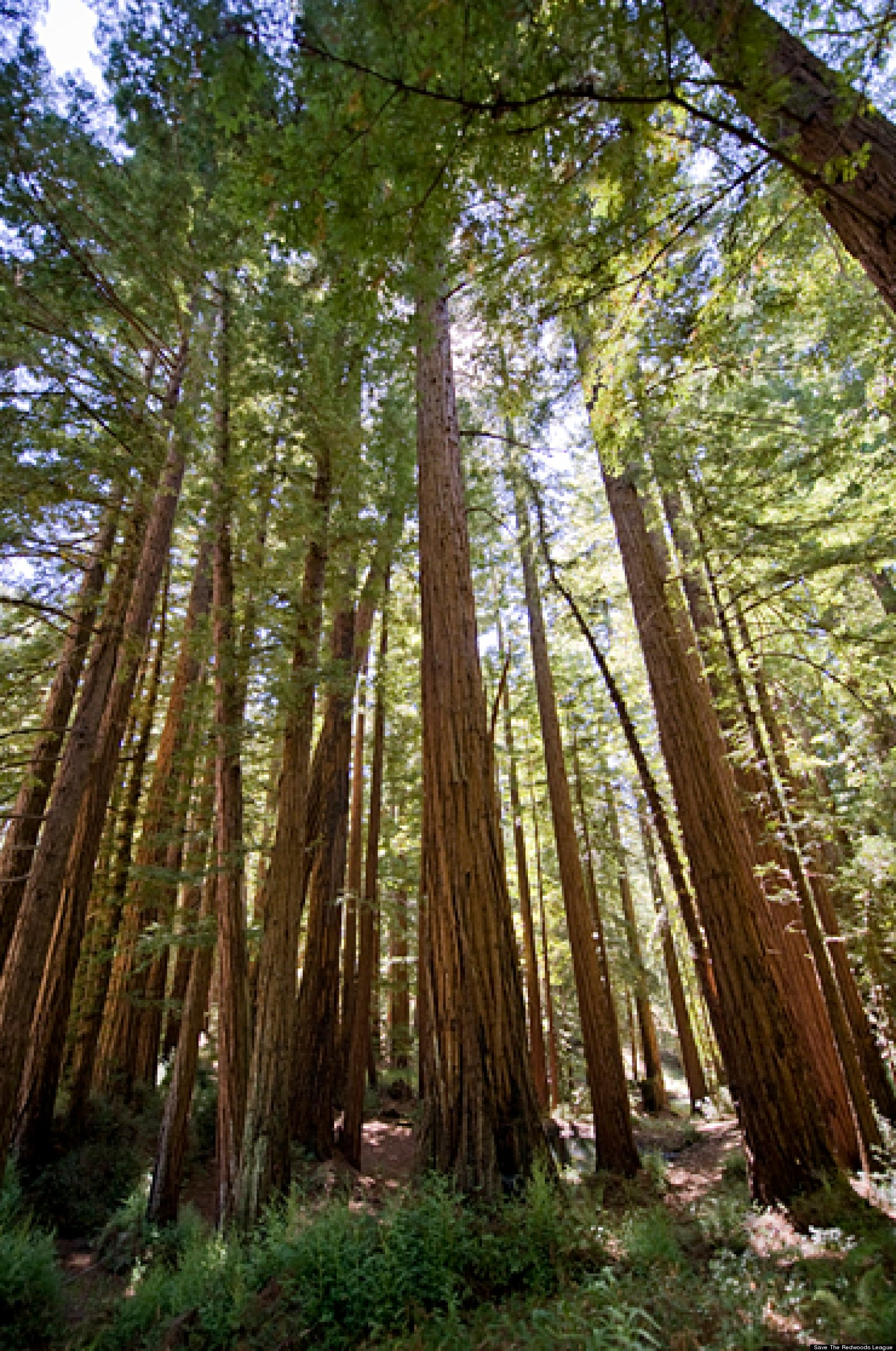 redwood forests  groups fight to preserve rare old