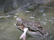 Crocodile Snatches 9-year-old Boy In Australia
