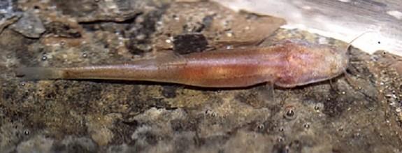 draconectesnarinosus1