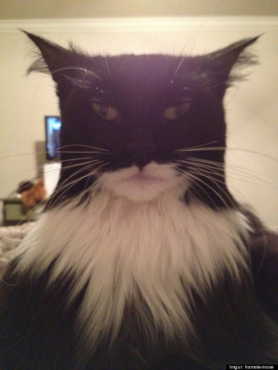 Image result for batman cat