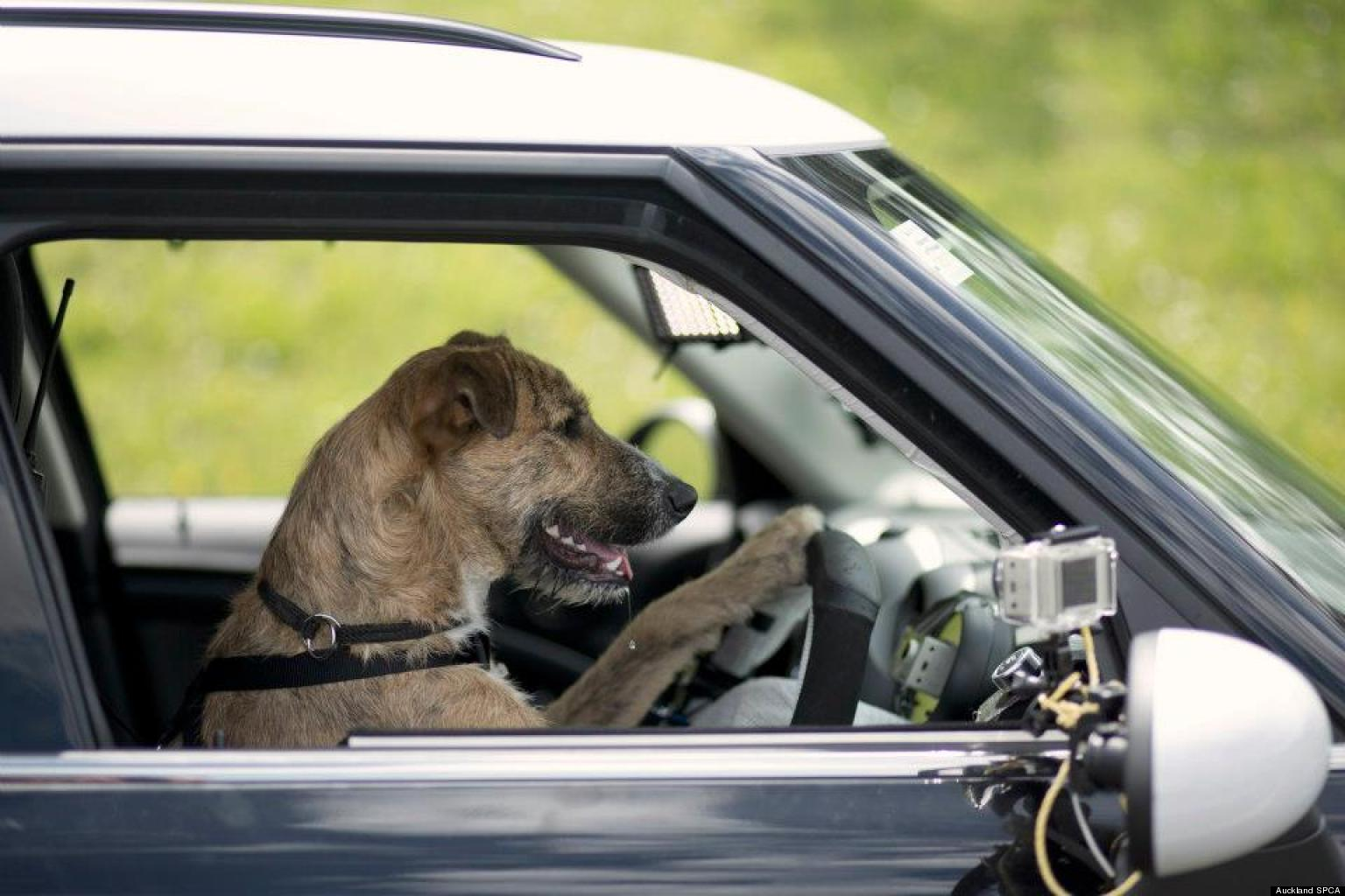 new zealand spca dogs learn how to drive cars video. Black Bedroom Furniture Sets. Home Design Ideas