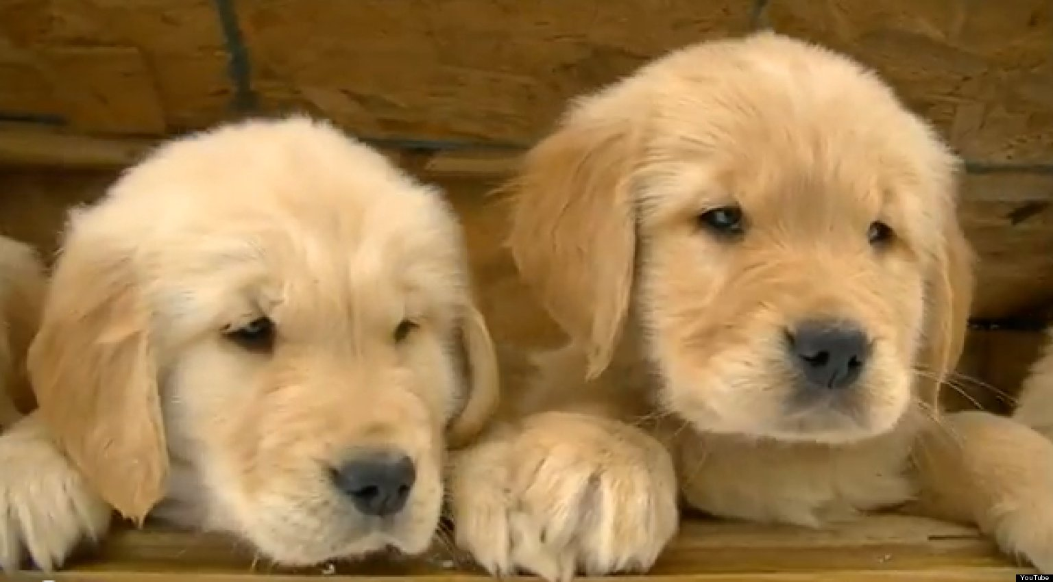 Golden Retriever Puppies Play In The Snow: Cute/Ridiculous ...