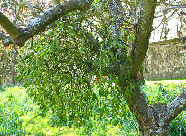 Sprout Home Plant Of The Week Mistletoe Huffpost Life