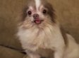 Billy, Adorable Chihuahua, Rescued From Horrific Puppy Mill (VIDEO)