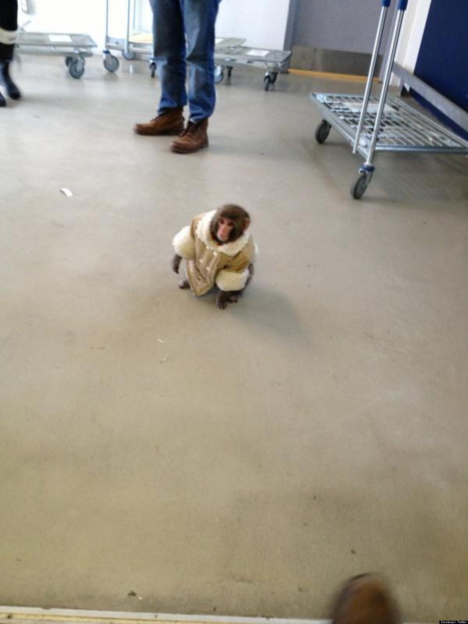 ikea monkey runs around in coat outside furniture store in