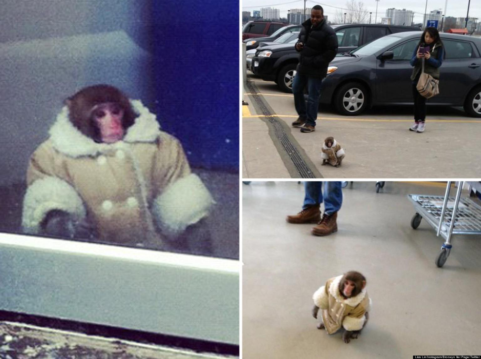 ikea monkey sent toronto animal sanctuary but owner
