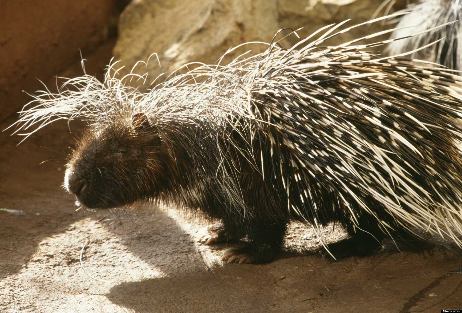 Porcupine Quills Inspire Better Needles For Medical Devices
