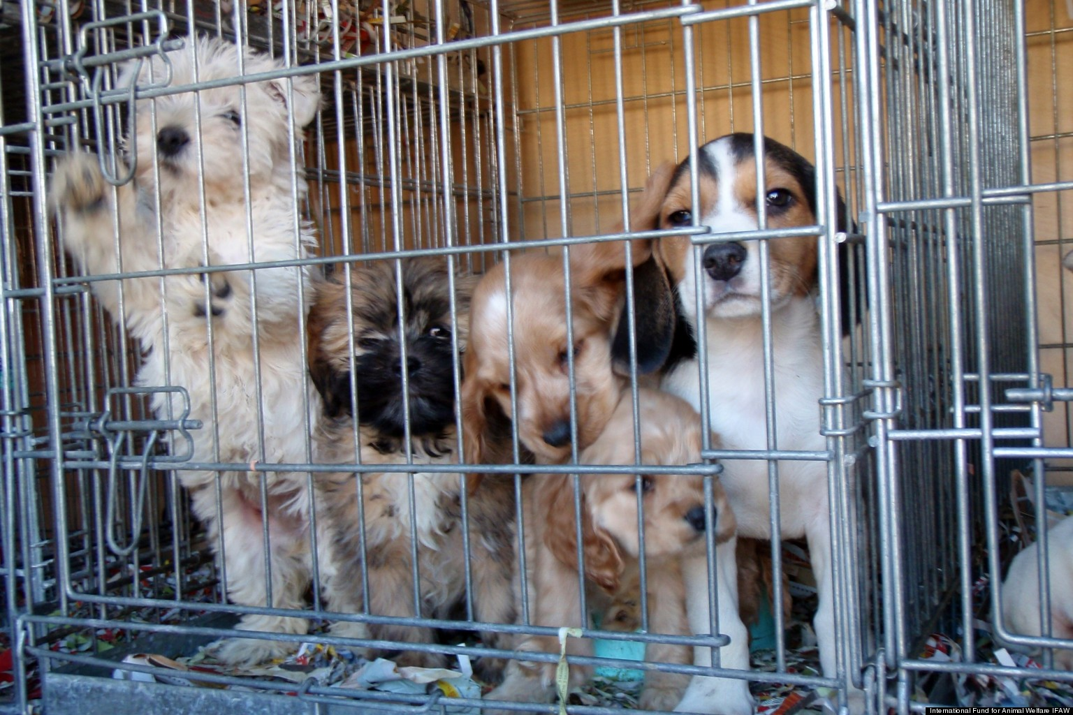 the issues with puppy mills Physical and psych issues in mills and  presents physical and psychological health issues in puppy mill and hoarding rescues at the  hoarding, puppy mills,.