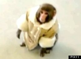 Darwin The Ikea Monkey Is Looking For A New Home